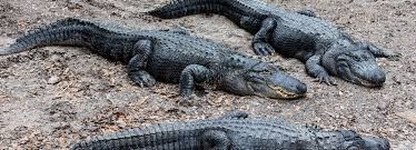Top Jacksonville News Alligator Climbs Fence At Naval Air Station