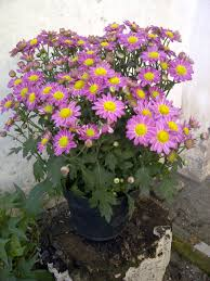 krisan flower
