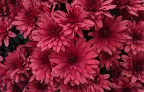 dahlia flower wallpaper best