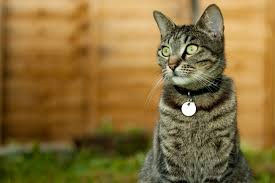 Why A Collar Id Tags Are Important Even For Indoor Cats Daily Paws
