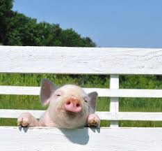 Pig Fencing And How To Catch Young Hogs Sustainable Farming Mother Earth News