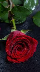 خلفية وردة حمراء جورية مع قطرات الندى التي عليها بدقة عالية Hd