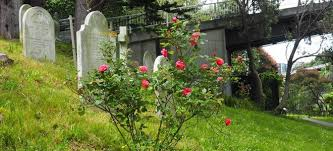 growing a rose bush from a bud