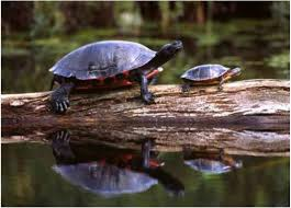 How To Create An Ideal Backyard Pond For Turtles Landvista Aquascapes