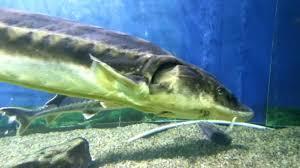 Giant Sturgeons In A Good Aquarium ...