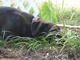 Dogs And Plant Protection How To Keep Dogs From Damaging Prized Plants