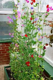 Climbing Sweet Pea Plants Planting Flowers Sweet Pea Flowers