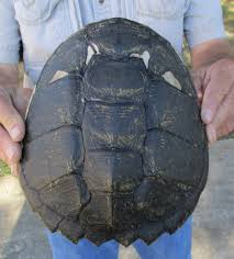 8 1 2 inch long snapping turtle shell