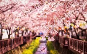 تحميل خلفيات الربيع ساكورا اليابان الكرز فروع المناظر الطبيعية