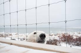 Polar Bear Stare Sean Crane Photography