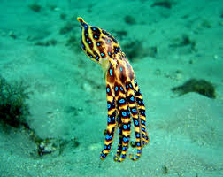 10 Amazing Facts about the Blue Ringed Octopus - Passport Ocean