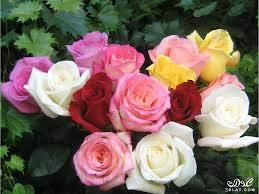 ازهار جميلة صور ورود زهور جميله ذو الالوان الخلابه ورود بالصور