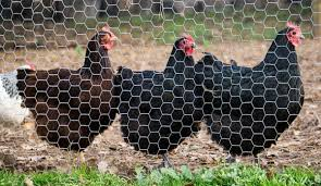 The Fencing You Need To Keep Predators Out And Chickens In Hobby Farms