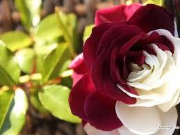 صور ورد حلوه احلى الورود واجملها بكل الالوان والاصناف قصة شوق