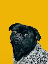 wallpaper pug dog muzzle look