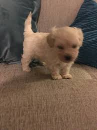 chipoo toy poodle chihuahua cross