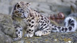 snow leopard wallpapers on wallpaperplay