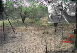 Fences Keep Out Feral Hog Moochers At Deer Feeders Let Deer Pass One Fence Was Too High Another Too Low One Just Right Agrilife Today