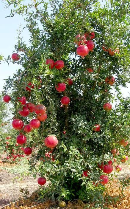"""Resultado de imagem para imagens de arvores de fruto romã"""""""