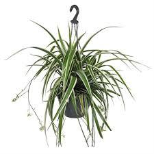 200mm Spider Plant Hanging Basket Chlorophytum Comosum Bunnings Warehouse