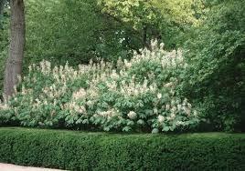 Bottlebrush Plant For Fence With Boxwood Hedges Bottlebrush Buckeye Plant For Fence Shade Shrubs Landscaping Shrubs Garden Shrubs