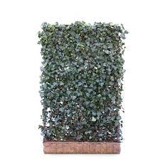 Ivy Screen Hedera Helix Hibernica 180cm High 120cm Wide Hedges Direct Uk