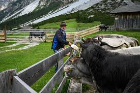 In The Alps Hikers On The Trails And Cows In The Pasture Make For Perilous Pairings The Washington Post