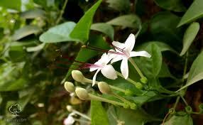 الياسمين الزفر نباتاتي