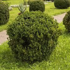 Unbranded 2 5 Qt Wintergreen Boxwood Live Shrub Plant Glossy Dark Green Foliage 0617q The Home Depot