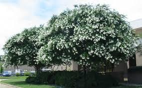 Amazon.com: Large Natchez Crape Myrtle, 3-4ft Tall When Shipped ...