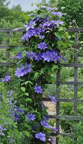 How To Grow Clematis Gardener S Supply
