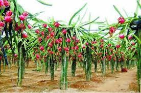 火龙果新品种黔果1号火龙果的种植方法- 水果品种- 农村致富经