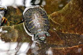 How Long Can Red Eared Sliders Go Without Water Turtleholic