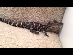 Baby Alligator Calling For Mom Pet Youtube Baby Alligator Alligator Pets