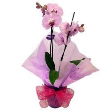 phalaenopsis orchid gift isle of man