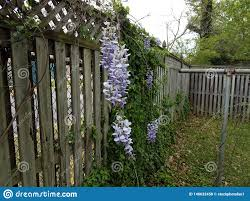 Purple Flower Vine Plant And Green Leaves Growing On Wood Fence Stock Photo Image Of Fence Plant 146632458