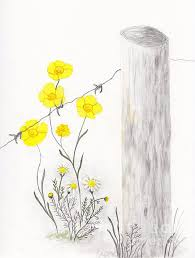 Buttercups And Chamomile By Fence By Conni Schaftenaar Flower Drawing Art Drawings