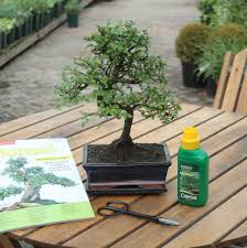 12 year old bonsai tree superior gift