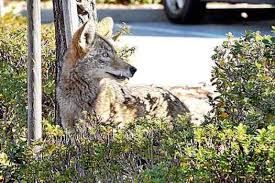 Are There Ways To Protect My Pets And Family From Coyotes