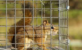 how to trap squirrels in the attic