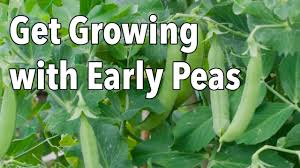 growing and harvesting pea plants