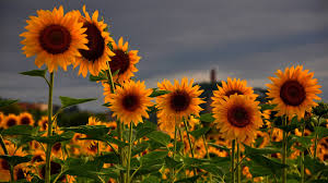 66 sunflowers wallpapers on wallpaperplay