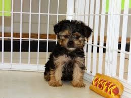 not puppyfind craigslist oodle