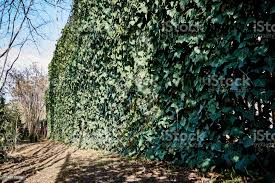 The High Threemeter Fence From A Grid Of The Chainlink Is Decorated With English Ivy Stock Photo Download Image Now Istock