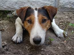 A Kind Of Smoothhaired Fox Terrier The Dog Is Trying To Crawl Stock Photo Picture And Royalty Free Image Image 40291869