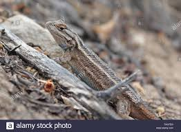 Plateau Lizards High Resolution Stock Photography And Images Alamy