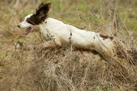 Springer spaniel - what you need to know about this gundog breed