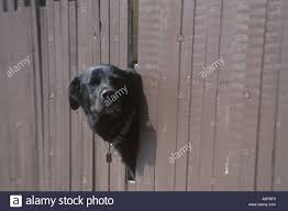 Dog Looking Through Hole In Fence Stock Photo Alamy