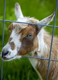 Building The Best Fence For Goats Backyard Goats