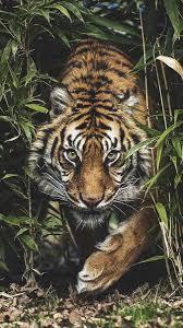 خلفيات Eroo On Twitter خلفيات حيوانات Hd Tiger